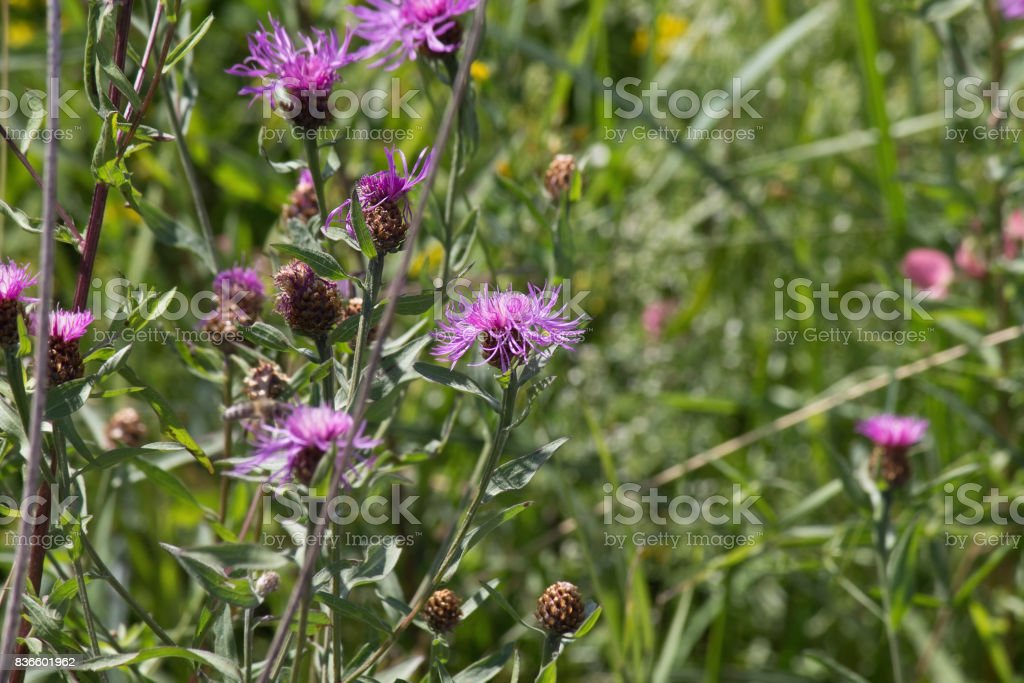 purple wildflower cornflower stock photo