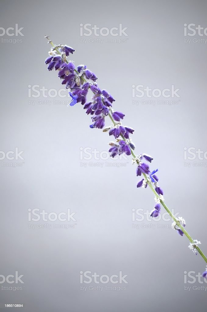 Purple wildflower on gray royalty-free stock photo