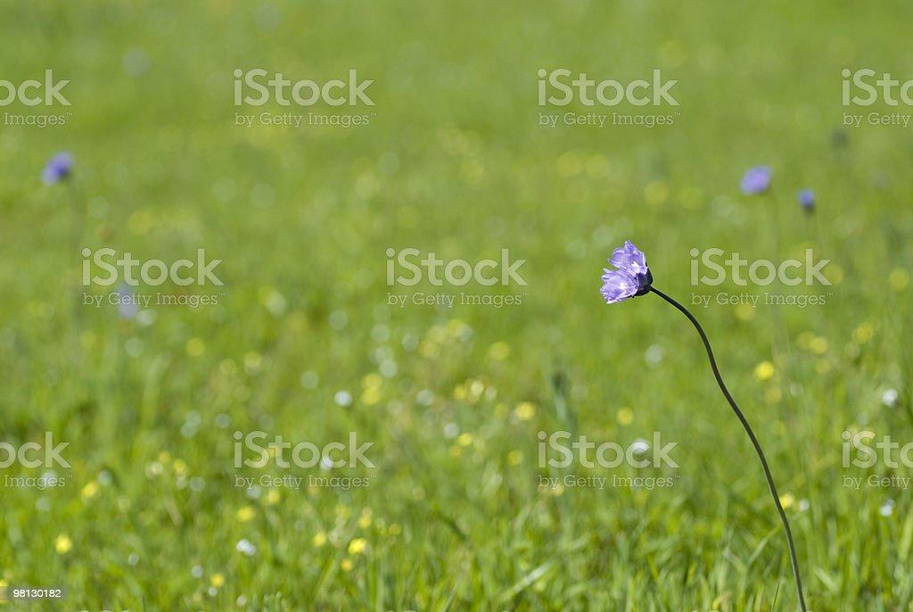 Purple Wildflower royalty-free stock photo
