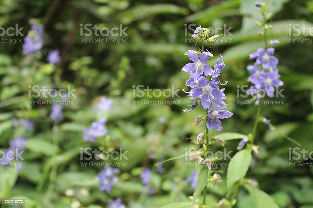 Purple wildflower, tall bellflower, nature background stock photo