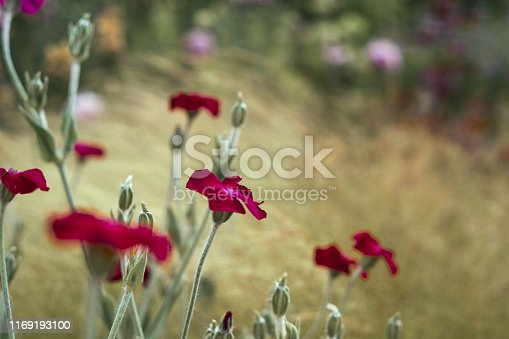 istock Purple wildflowers in summer meadow blurred background. Close up 1169193100