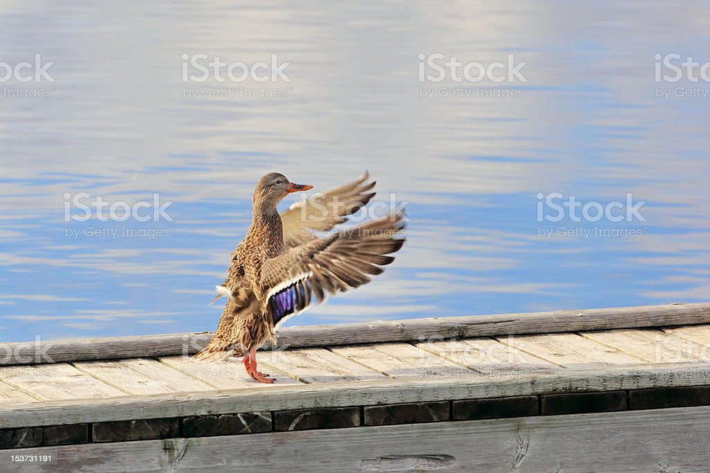 Purple Winged Mallard Duck Flapping Wings stock photo