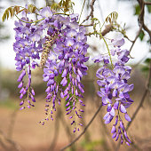 Purple Wisteria flowers alongside new spring growth. Very shallow focus.