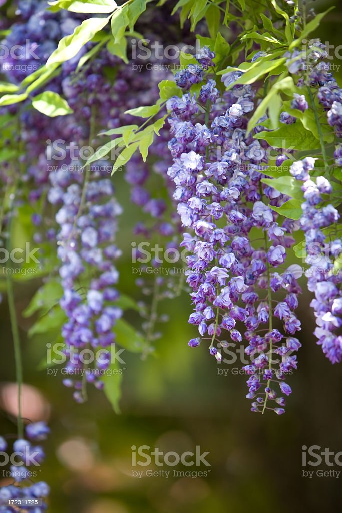 Purple Wisteria stock photo