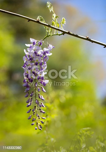 istock Purple Wisteria Raceme in Sunshine 1143332392