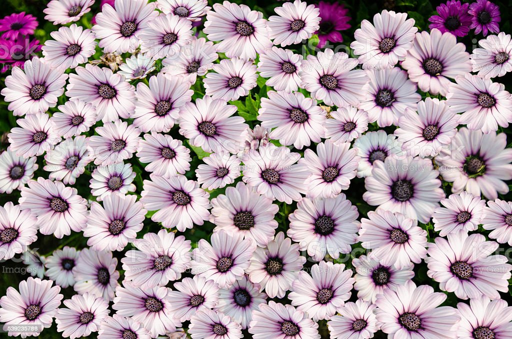purple with white Chrysanthemum flower in full bloom royalty-free stock photo