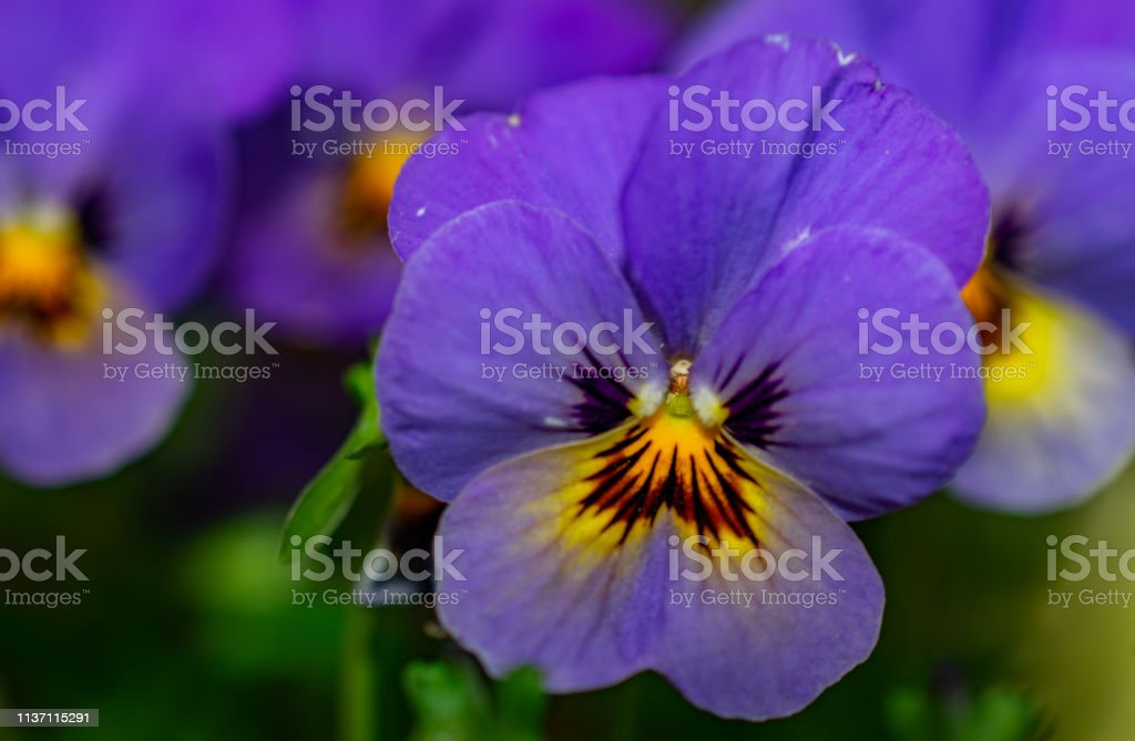 purple with yellow and orange spring flower stock photo