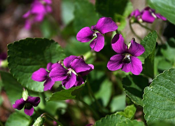 Purple Wood Violets stock photo