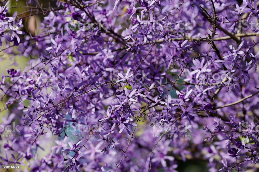 Purple wreath blossoming - Zbiór zdjęć royalty-free (Bez ludzi)
