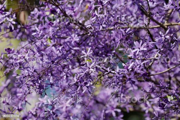 Fioletowy Wieniec Kwitnący - zdjęcia stockowe i więcej obrazów Bez ludzi