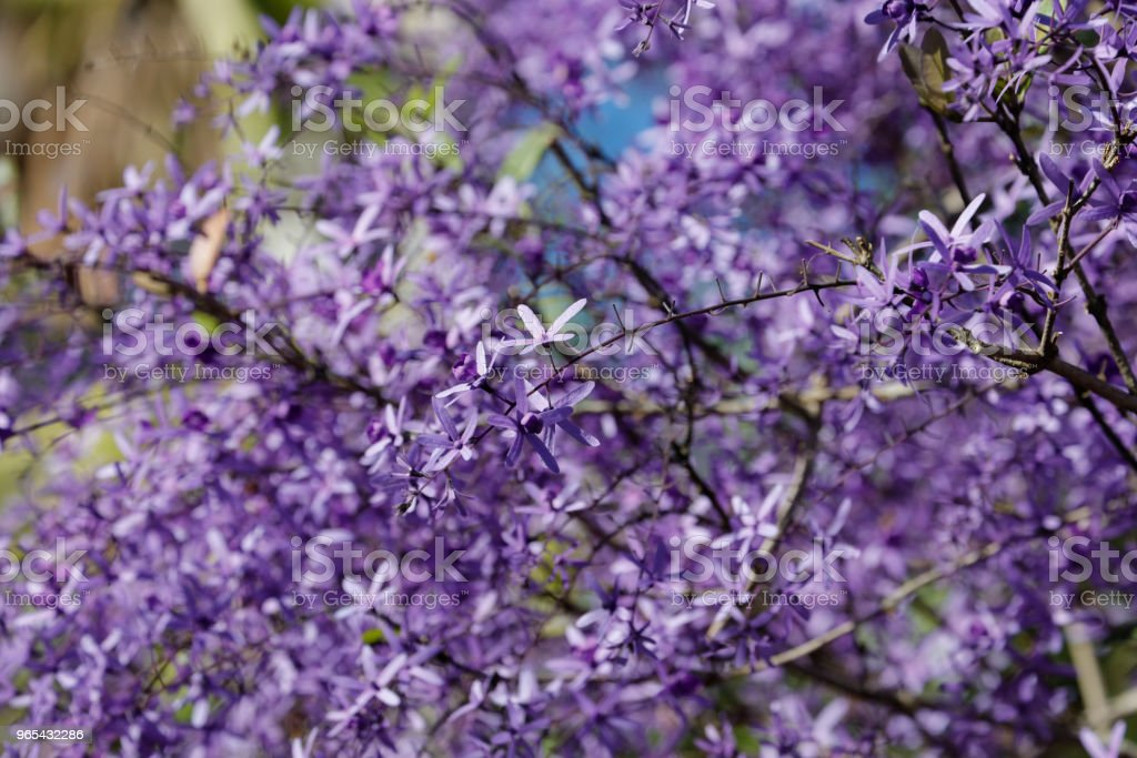 Purple wreath blossoming royalty-free stock photo