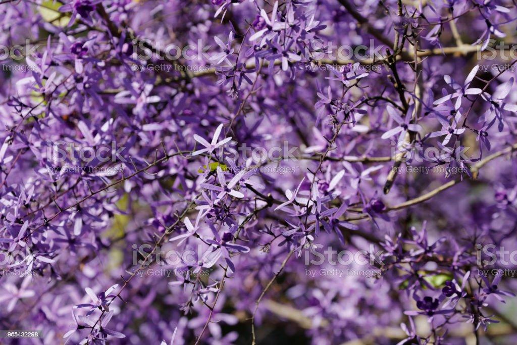 보라색 화 환 꽃 - 로열티 프리 0명 스톡 사진