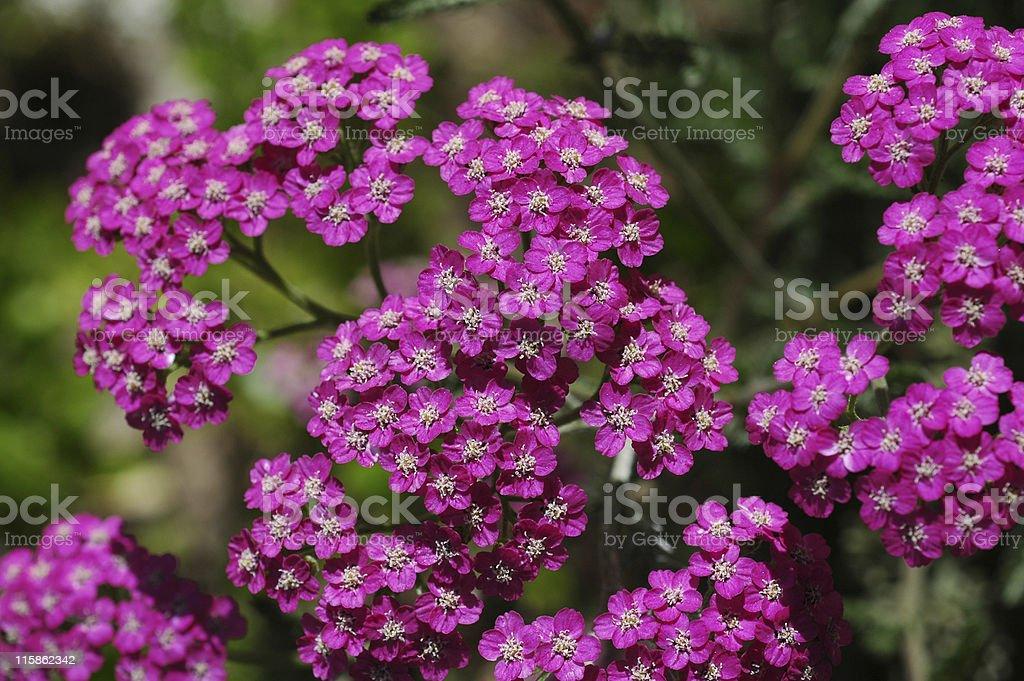 purple yarrow, Achillea millefolium, flowers royalty-free stock photo