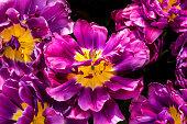 Purple Yellow Fancy Kaufmanniana Lily Tulips Keukenhoff  Lisse Holland Netherlands