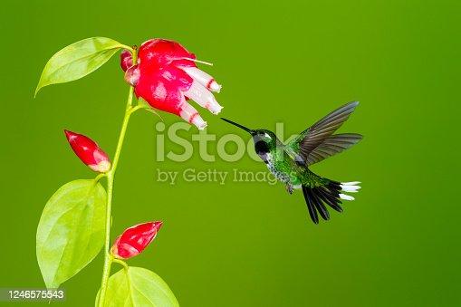 istock Purple-Bibbed Whitetip, Hummingbird, male feeding in flower 1246575543