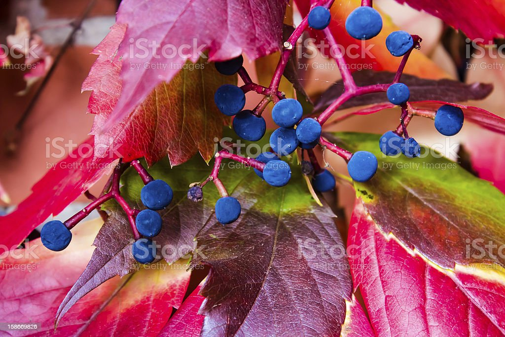 Purple-black berries and red leaves wild grapes royalty-free stock photo