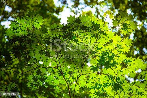 639809128istockphoto Purplebloom Maple in South Korea 487808670
