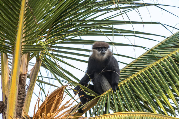Purple-faced langur - monkey in natural habitats - Sri Lanka wildlife Purple-faced langur - monkey in natural habitats - Sri Lanka wildlife langur stock pictures, royalty-free photos & images