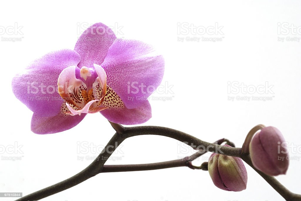 Purple/Pink Orchid royalty-free stock photo