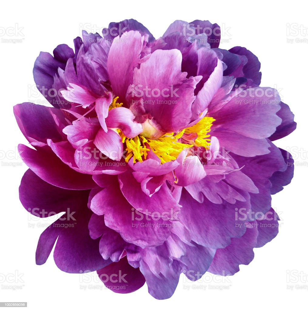Purplepink Peony Flower With Yellow Stamens On An Isolated White
