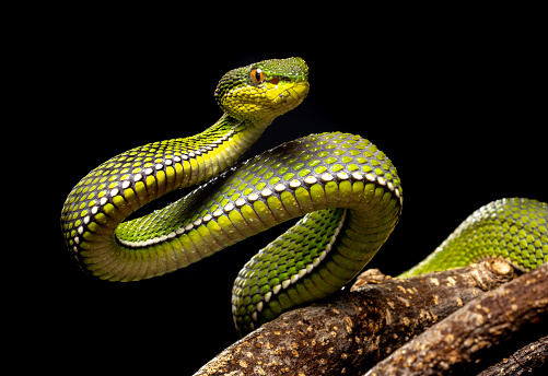 Venomous purple-spotted pit viper, native of Thailand. This one lives in captivity.