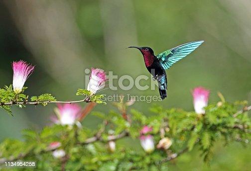 Purple-throated Carib (Eulampis jugularis) adult hovering at flower
