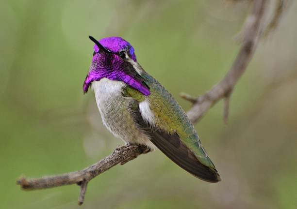 Purple-Throated Hummingbird A purple-headed hummingbird sits on a branch in Tucson, Arizona pima county stock pictures, royalty-free photos & images