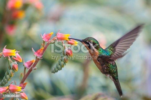 Purple-throated mountain-gem Hummingbird in Costa Rica