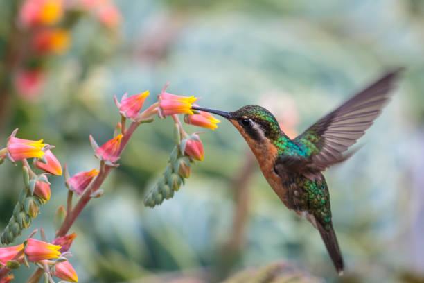 Purple-throated mountain-gem Hummingbird in Costa Rica stock photo