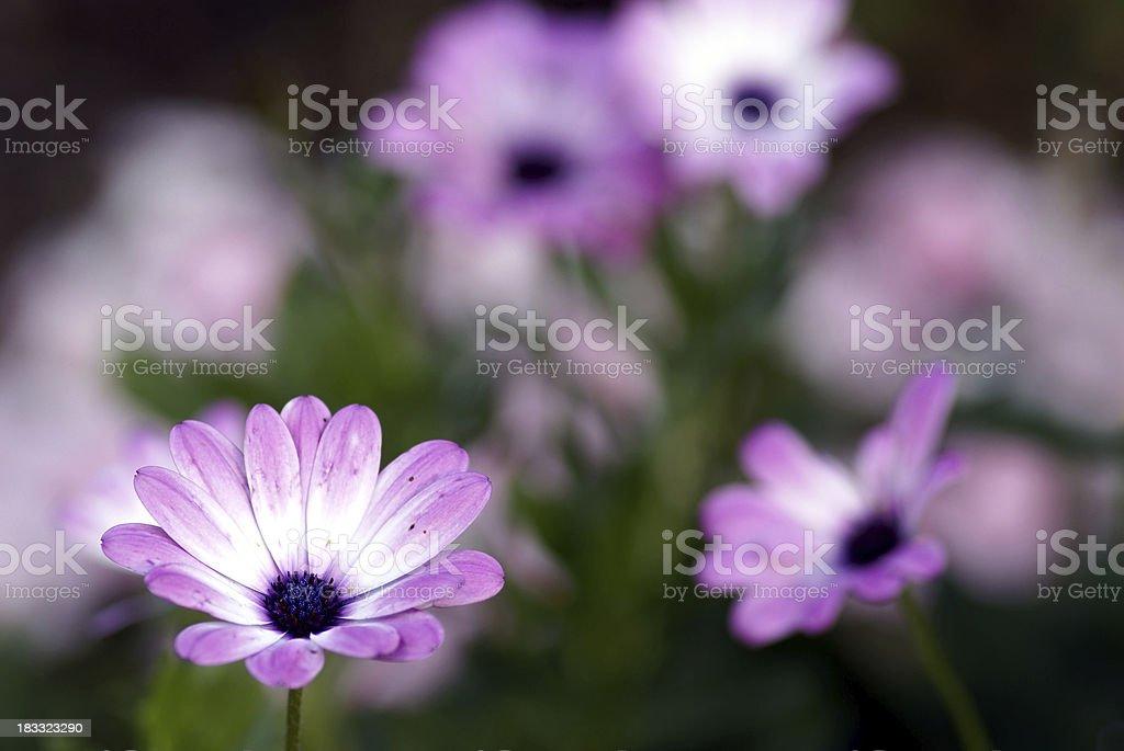 Purple-white cape asters stock photo