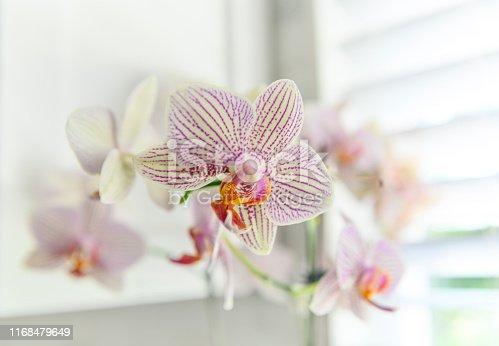 Purple/White Orchid