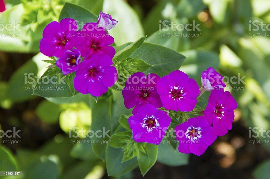purple-white senecio stock photo
