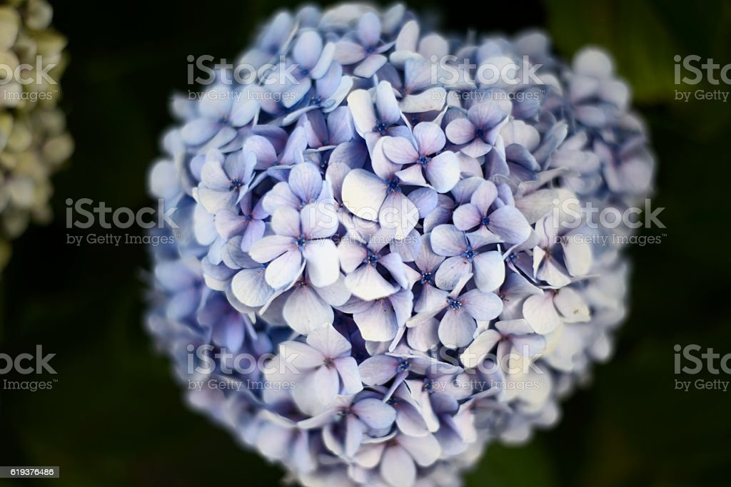 purpple flower isolated stock photo