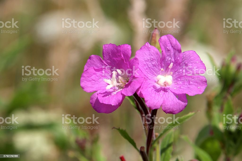 Purpple flowers on a meadow stock photo