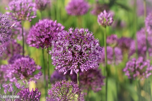 Purpur-Kugellauch flowers 'Purple Sensation' - Allium-aflatunense