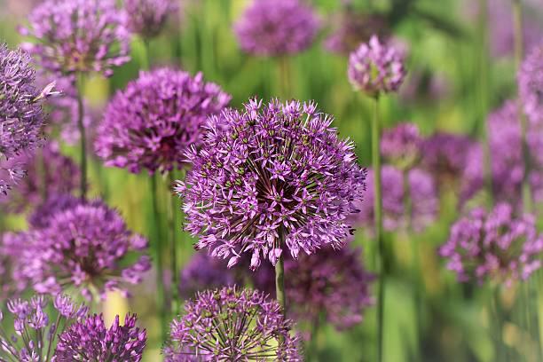 Purpur-Kugellauch flowers foto