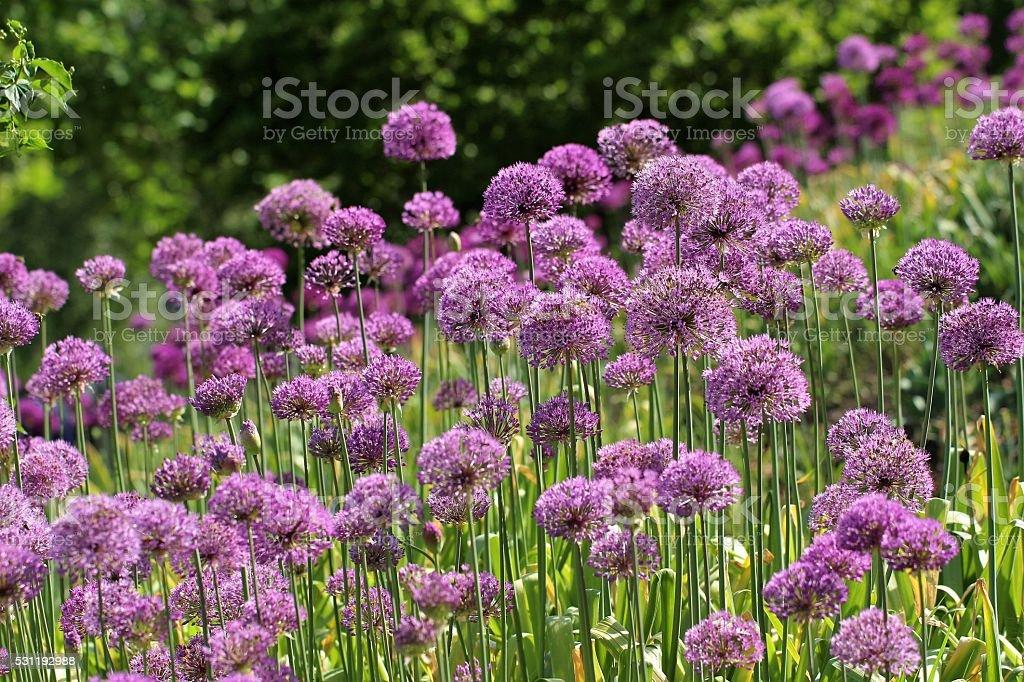Purpur-Kugellauch flowers stock photo