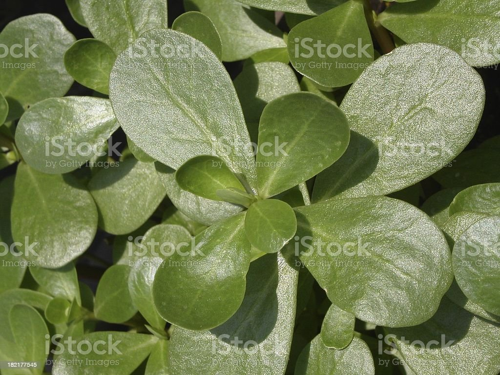 Purslane royalty-free stock photo