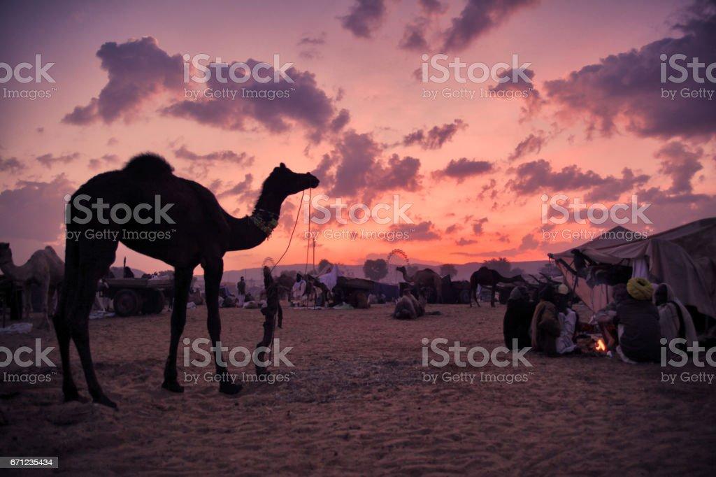 Pushkar Camel Fair at Dawn stock photo