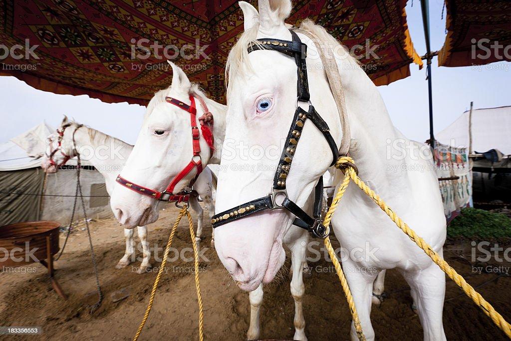 Pushkar Fair Albino White Horses India stock photo