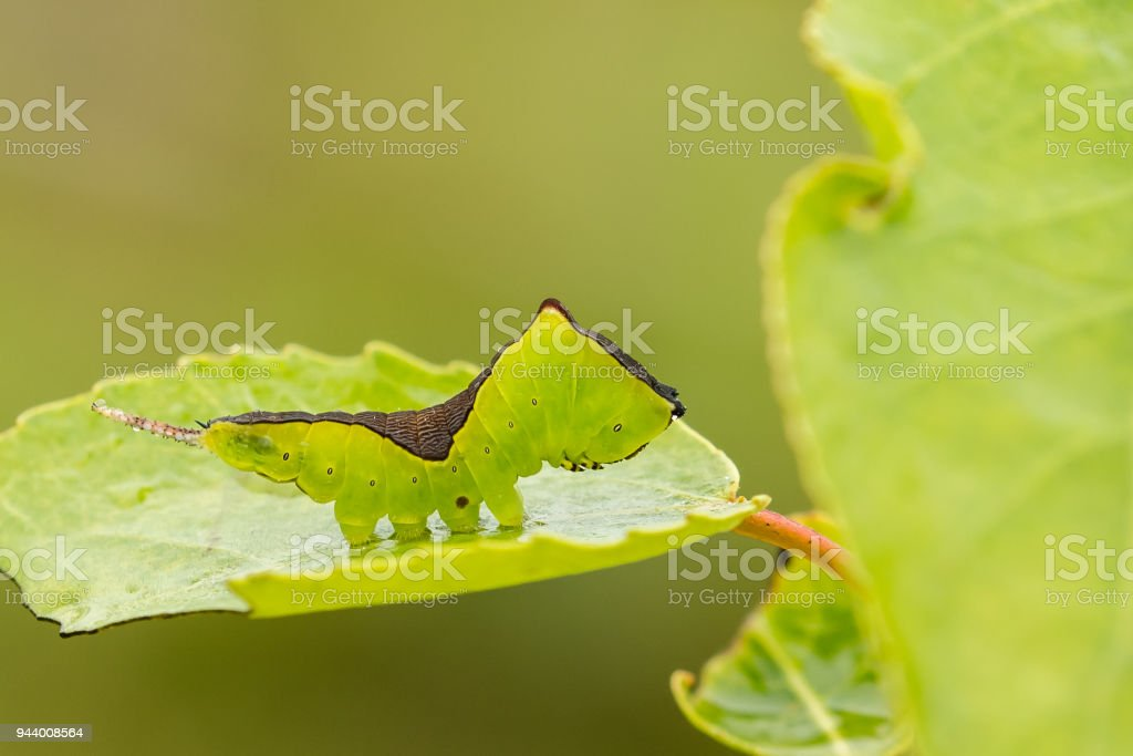 Puss Moth caterpillar on Sallow leaf stock photo