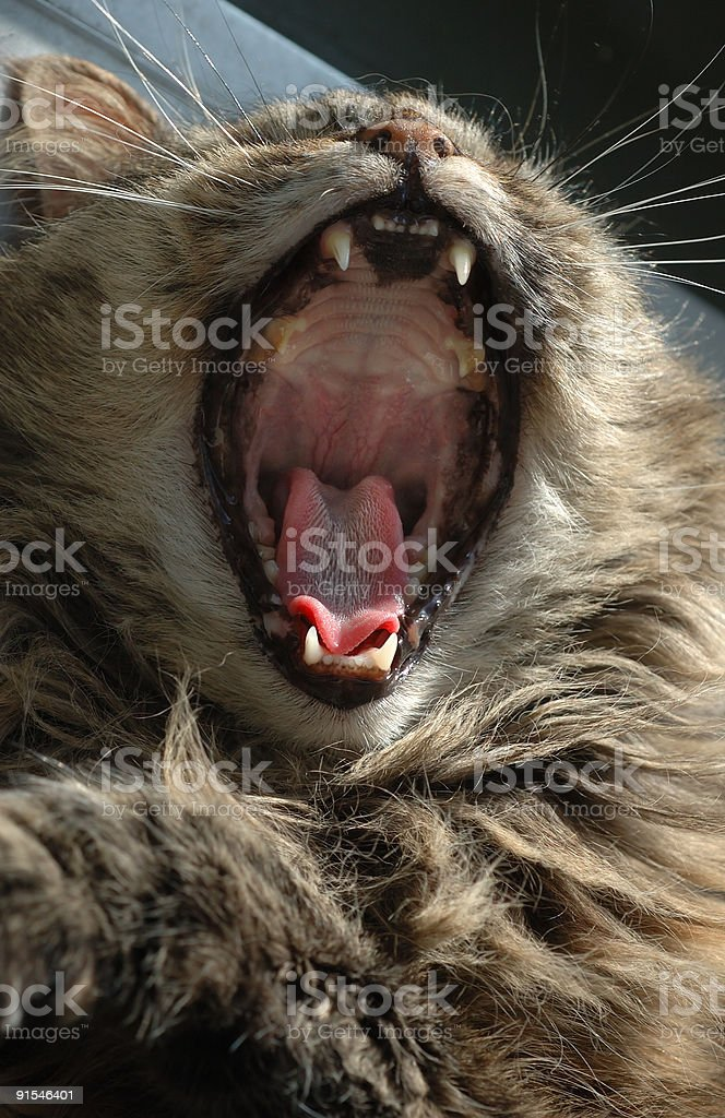 Pussy Cat Roars Like a Lion royalty-free stock photo