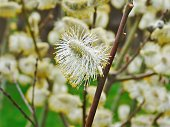 spring pussy willow flower and branch
