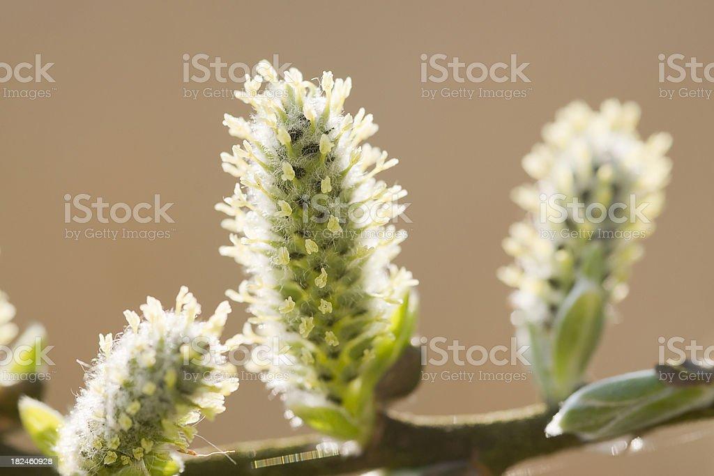 Sauce cabruno en flor foto de stock libre de derechos