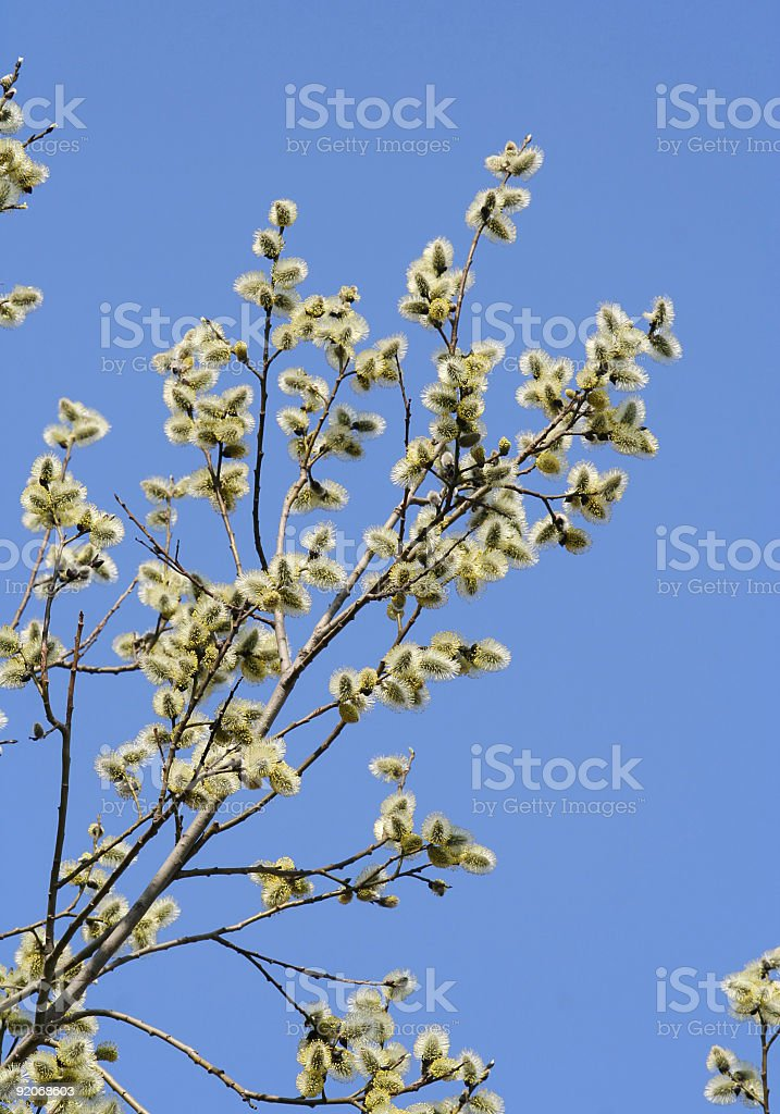 Pussy willow royalty-free stock photo