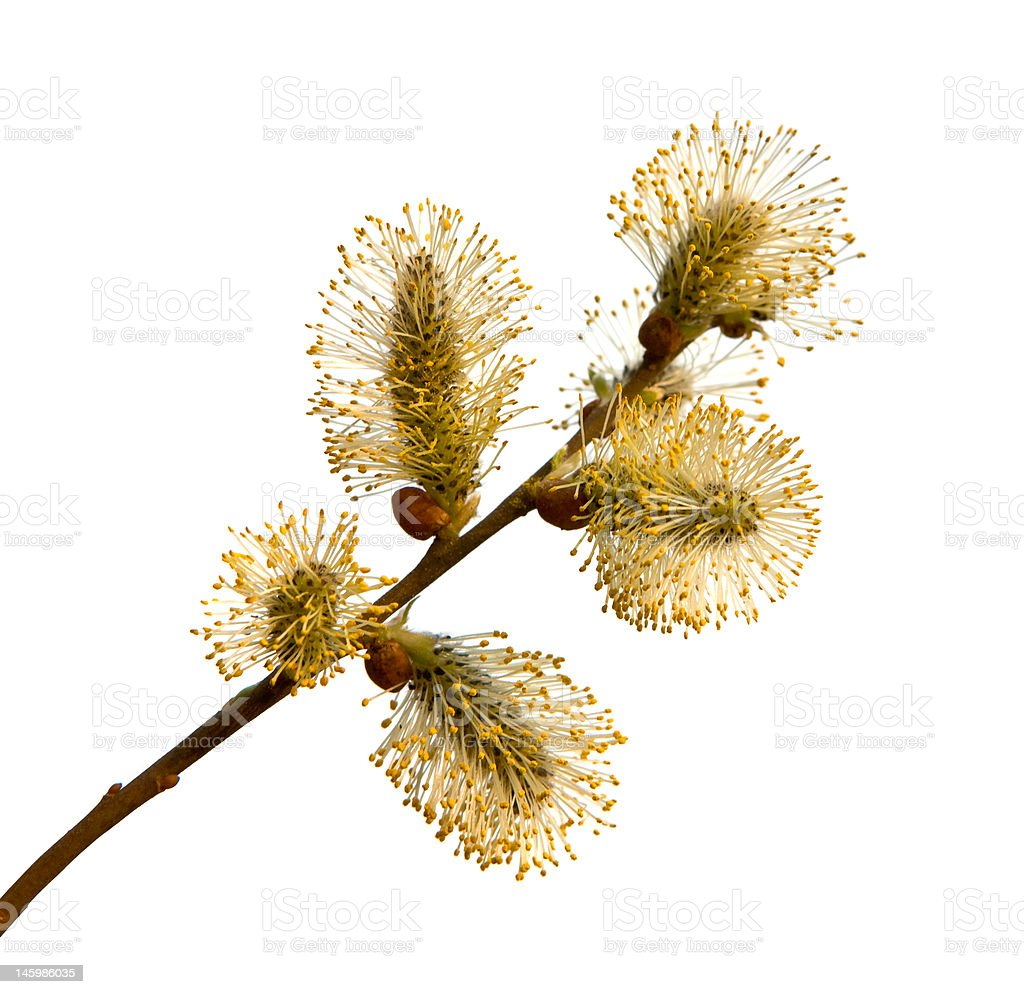 Pussy-willow branch, isolated on white. stock photo