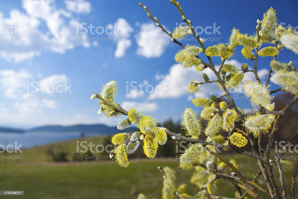 Pussy-willow in spring royalty-free stock photo