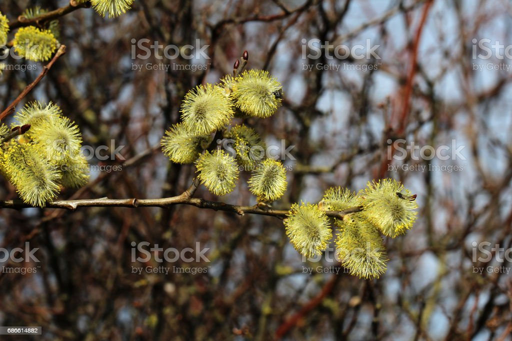 Pussy-willow royalty-free stock photo