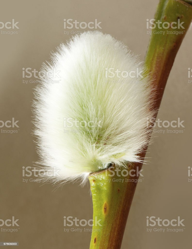 Pussywillow royalty-free stock photo