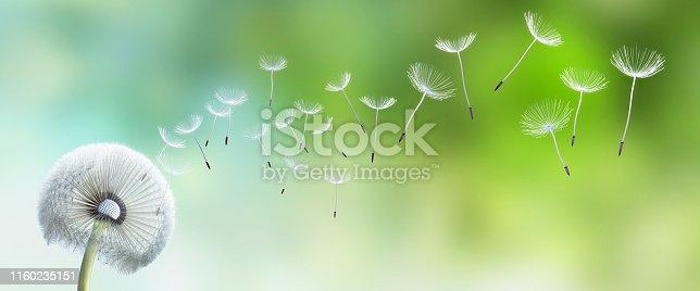 Pusteblume mit fliegenden Samen im Garten vor grünem unscharfen Hintergrund
